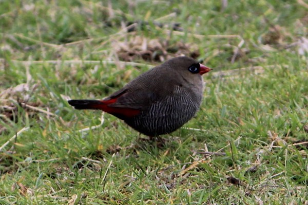 Beautiful Firetail