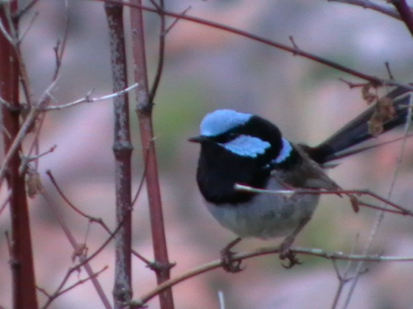 Superb Fairy Wren (Male)