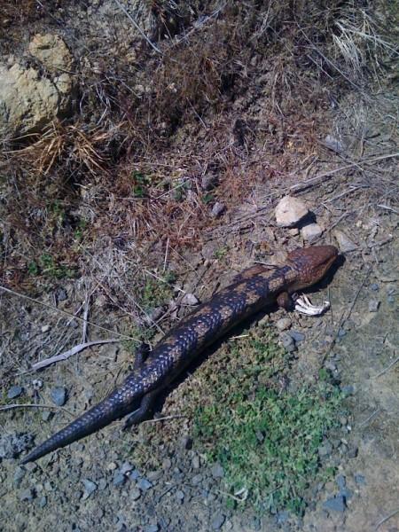 Critter 03 Lizard